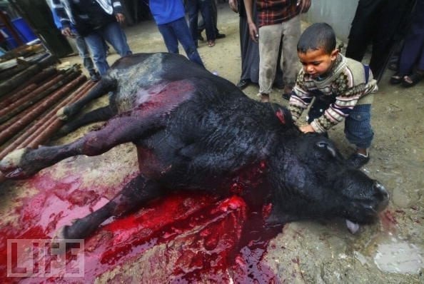 Turkish Halal Butchers Guilty Of Bloodbath Animal Cruelty
